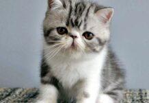 cucciolo di exotic shorthair