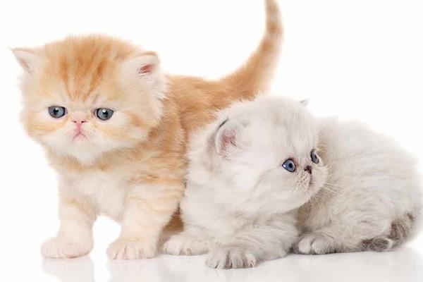 cuccioli di exotic shorthair