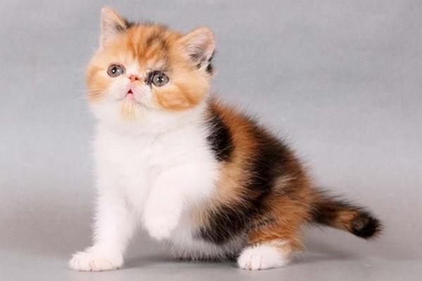 gattino con il mantello tricolore