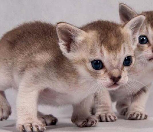 cuccioli di gatto singapura