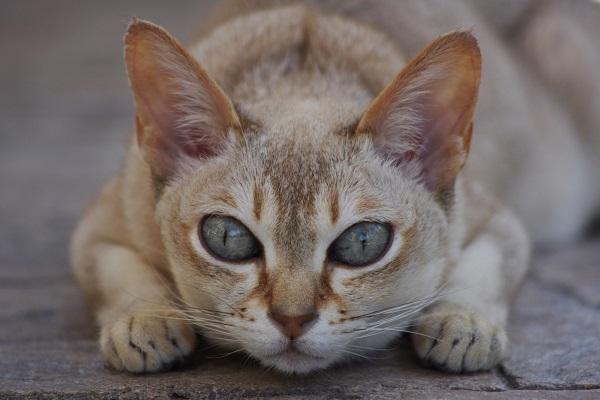 gatto che sta per attaccare