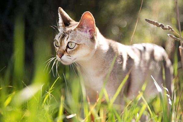 gatto singapura in campagna