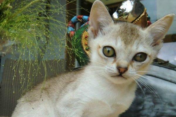 gattino singapura