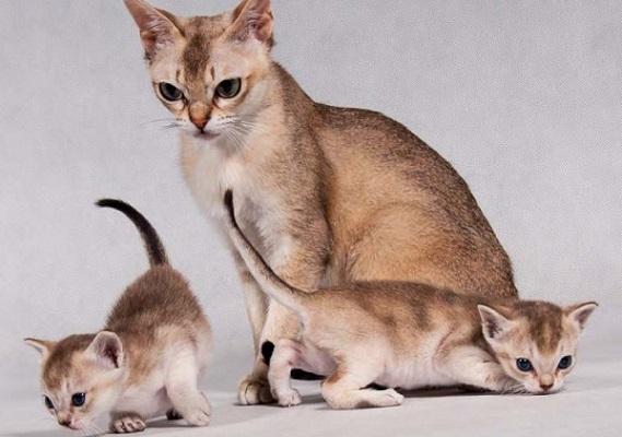mamma e cuccioli di singapura