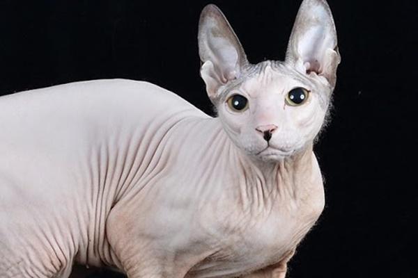 gatto nudo senza il pelo