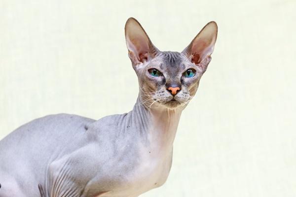 gatto con le orecchie grandi
