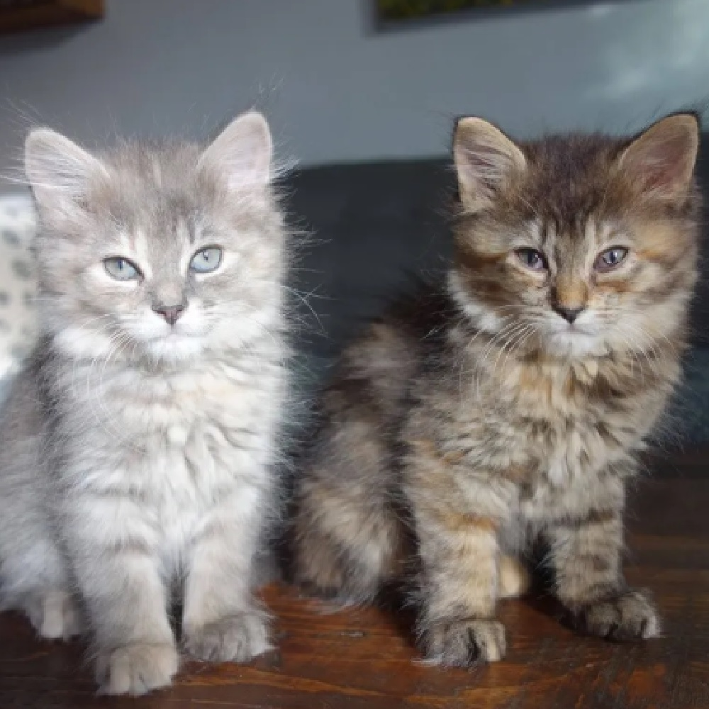 zelda safira gattine sorelle inseparabili