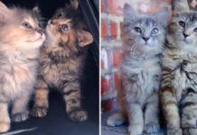 due gattine sorelle non si separano dopo salvatggio