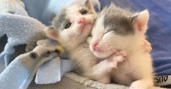 due gattini gemelli incantano web dolcezza