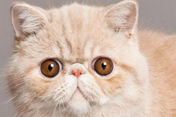 gatto con gli occhi molto grandi