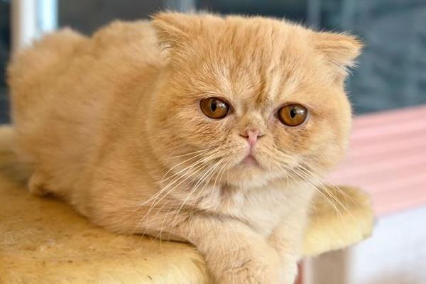 gatto arancione sul tiragraffi
