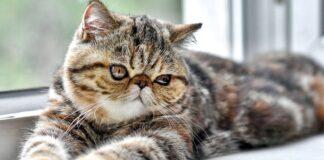 gatto con il muso schiacchiato
