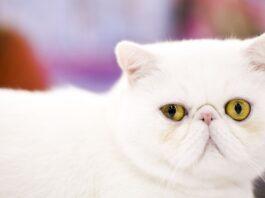gatto bianco a pelo corto