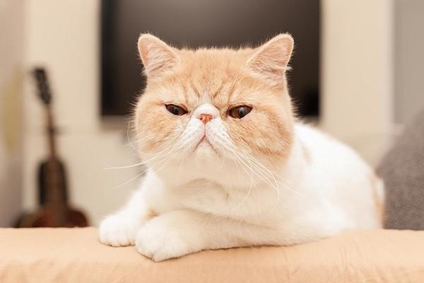 espressione arrabbiata del gatto