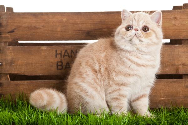 gatto con il muso schiacciato