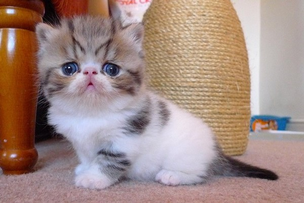 gattino con il tiragraffi