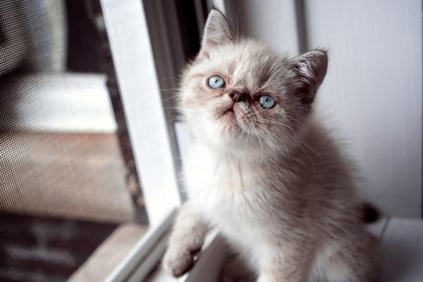 gattino con il pelo simile al siamese