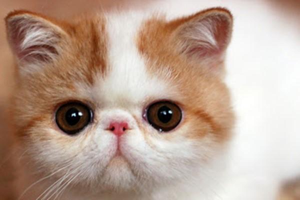 gatto con il naso schiacciato