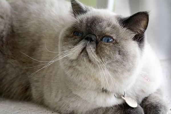 gatto con il pelo simile al siamese