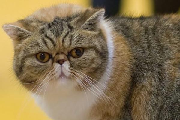 gatto con il mantello tabby
