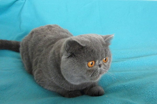 gatto con il mantello grigio
