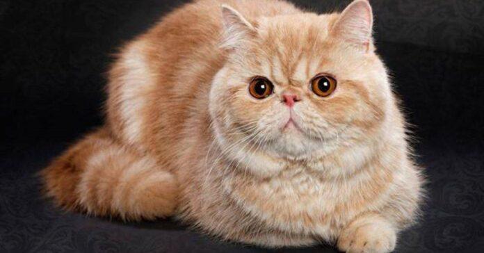 gatto grande e arancione
