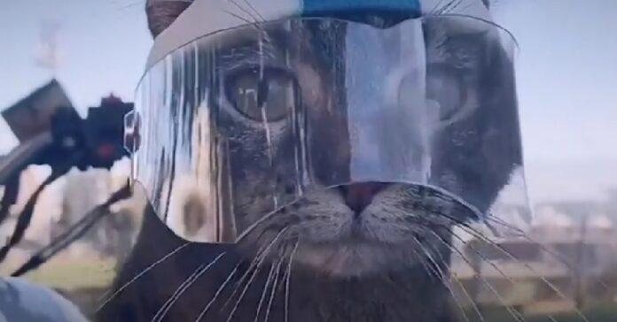 gattina amante attività ama stare al fianco del proprietario