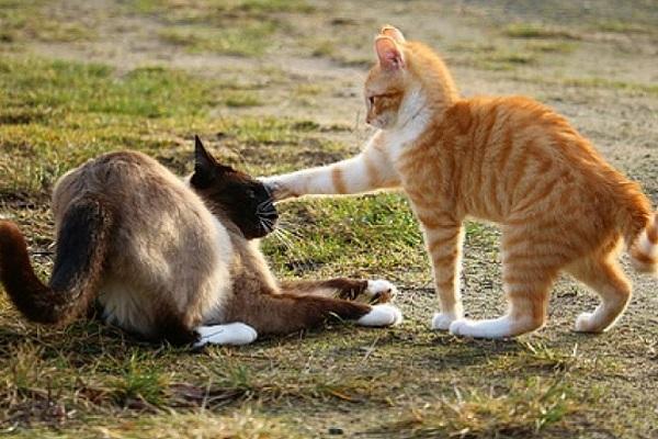 gatto che sovrasta un altro gatto