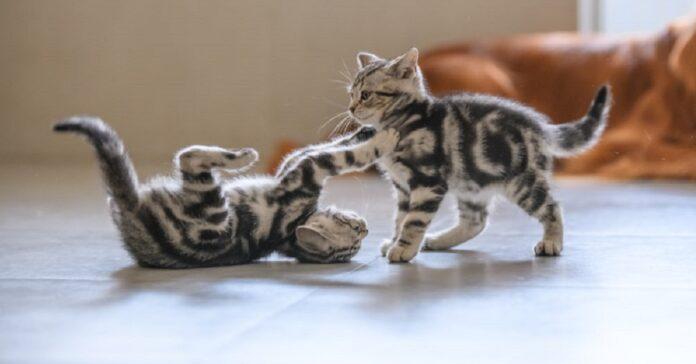 gattini tigrati che litigano