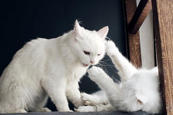 gattini binachi che litigano