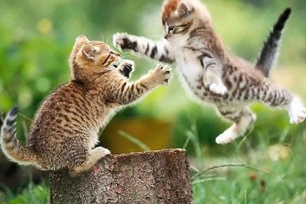gatti che si attaccano