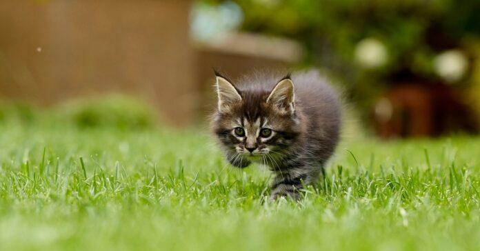 gattino sull'erba