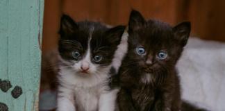 gattino maschio o femmina