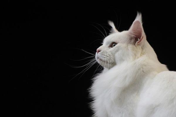 gatto con sguardo profondo