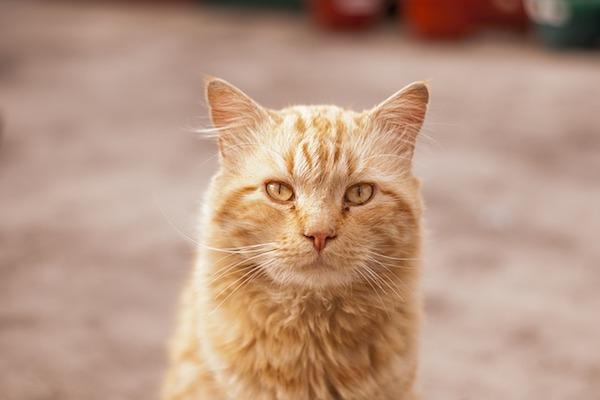 gatto adulto colore chiaro