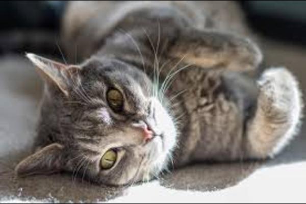 gatto coricato