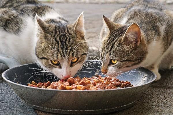gatto che mangia cibo in scatola