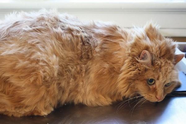 gatto con pelo arruffato