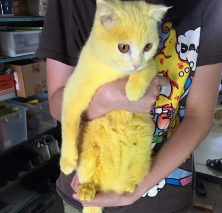 thamappa gatto curcuma effetto svanisce