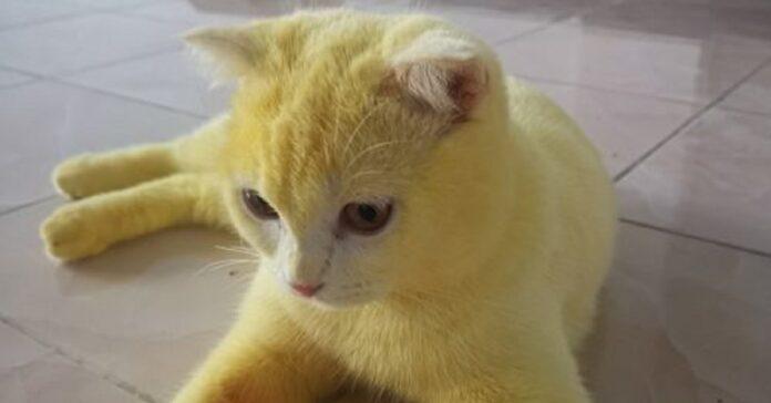 gatto diventa completamente giallo idea proprietaria