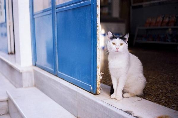 gatto con il pelo bianco e nero