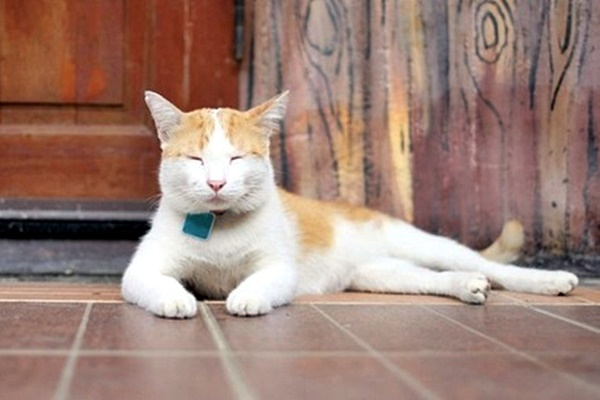 mettere il collare al gatto