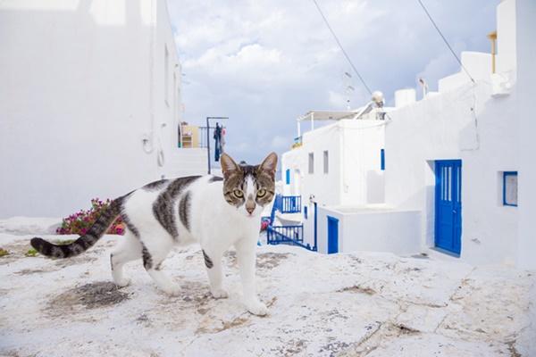 gatto egeo che vive in grecia
