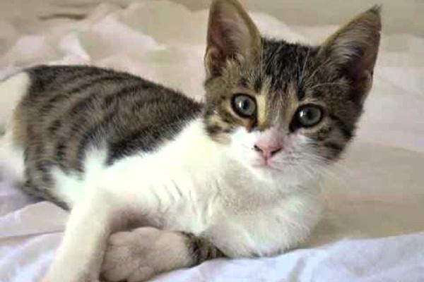 cucciolo di gatto egeo