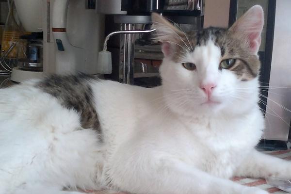 gatto egeo che vive in casa