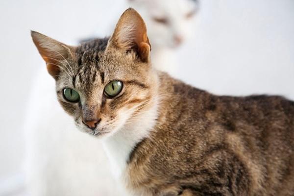 gatto domestico di due colori