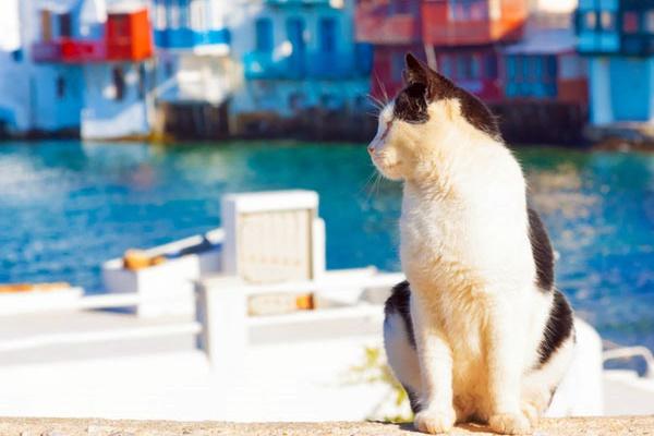 gatto che sa nuotare e pescare in mare