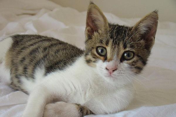gattino di razza gatto egeo