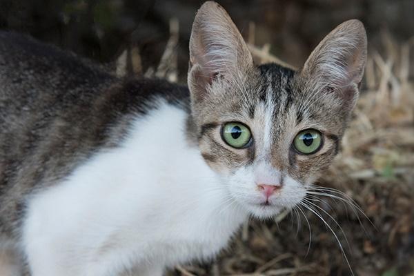 gatto egeo molto giovane