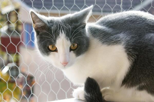 gatto egeo è una razza antichissima